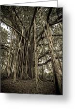 Old Banyan Tree Greeting Card by Adam Romanowicz