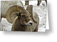 Old Big Horn Sheep Greeting Card