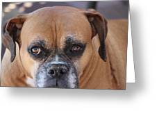Old Boxer Greeting Card