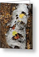 Old Fallen Birch Greeting Card