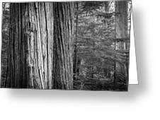 Old Growth Cedars Glacier National Park Bw Greeting Card