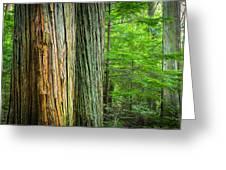 Old Growth Cedars Glacier National Park Greeting Card