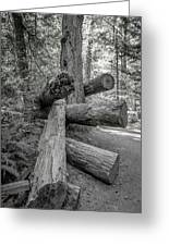 Old Growth Forest Black And White Collection 4 Greeting Card