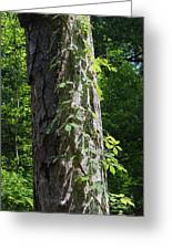 Old Growth  Loblolly Pine - Congaree Swamp Greeting Card