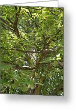 Old Linden Tree Greeting Card