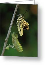 Oldworld Swallowtail Butterfly Greeting Card