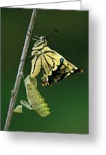 Oldworld Swallowtail Emerging Greeting Card
