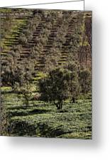 Olive Trees Greeting Card