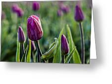 One Tulip Among Many Greeting Card