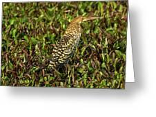 Onore Fascie Tigrisoma Fasciatum Greeting Card