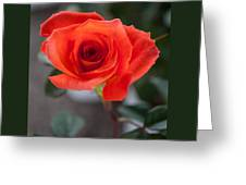 Opened Rose Bud Greeting Card