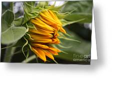 Opening Sunflower Greeting Card