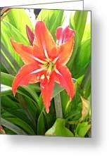 Orange Amaryllis Flower Blooms In Springtime Greeting Card