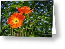 Orange And Blue - Beautiful Spring Orange Poppy Flowers In Bloom. Greeting Card