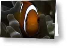 Orange Anemone Fish In Pale Anemone Greeting Card
