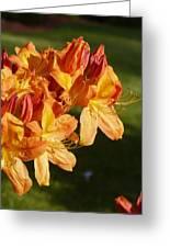 Orange Azaleas Greeting Card