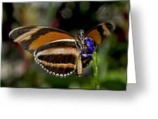 Orange Banded Butterfly Greeting Card
