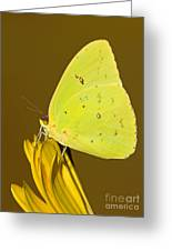 Orange Barred Sulfur Butterfly Greeting Card