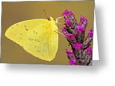 Orange-barred Sulphur Greeting Card