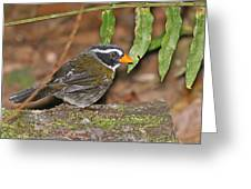Orange-billed Sparrow Greeting Card