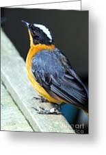 Orange Breasted Bird Portrait Greeting Card