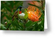 Orange-breasted Sunbird II Greeting Card