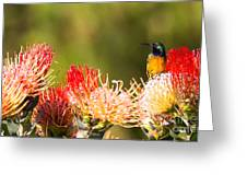Orange-breasted Sunbird Greeting Card