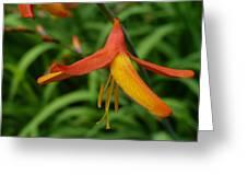 Orange Crocosmia  Greeting Card