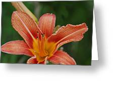 Orange Day Lily Greeting Card