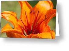 Orange Daylily Closeup Greeting Card