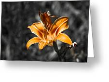 Orange Daylily Flower On Gray 3 Greeting Card