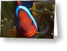 Orange Face Anemonefish Greeting Card