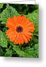 Orange Gerber Daisy 2 Greeting Card