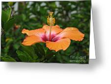 Orange Hibiscus Blossom Greeting Card