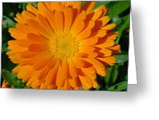 Orange Marigold Close Up With Garden Background Greeting Card