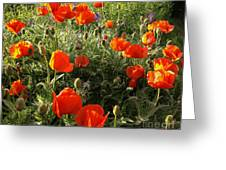 Orange Poppies In Sunlight Greeting Card
