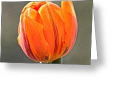 Orange Red Tulip Square Greeting Card
