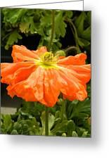 Orange Skirted Poppy  Greeting Card