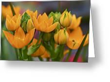 Orange Stars - Floral - Ornithogalum Dubium - Sun Stars Greeting Card