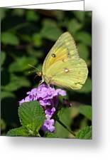 Orange Sulphur Greeting Card