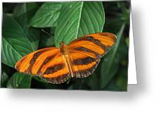 Orange Tiger Butterfly Or Banded Orange Greeting Card