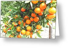 Orange Trees With Fruits On Plantation Greeting Card