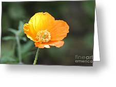Orange Welsh Poppy Greeting Card
