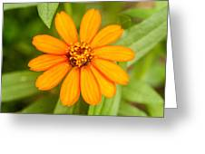 Orange Zenia Greeting Card