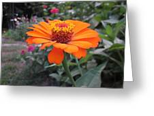 Orange Zinnia Greeting Card
