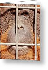 Orangutan Face Watching From Behind Steel Bars Greeting Card