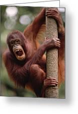 Orangutan Hanging On Tree Greeting Card