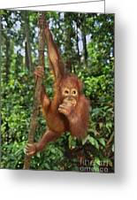 Orangutan  Greeting Card by Frans Lanting MINT Images