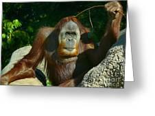 Orangutan Scratches With Stick Greeting Card