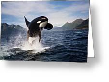 Orca Breach Greeting Card